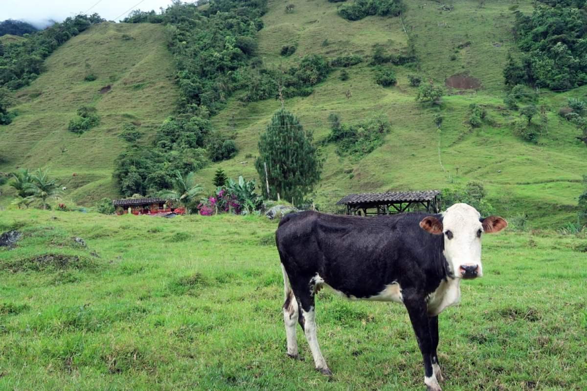 Cow in Pasture in Jardin Hiking Antioquia