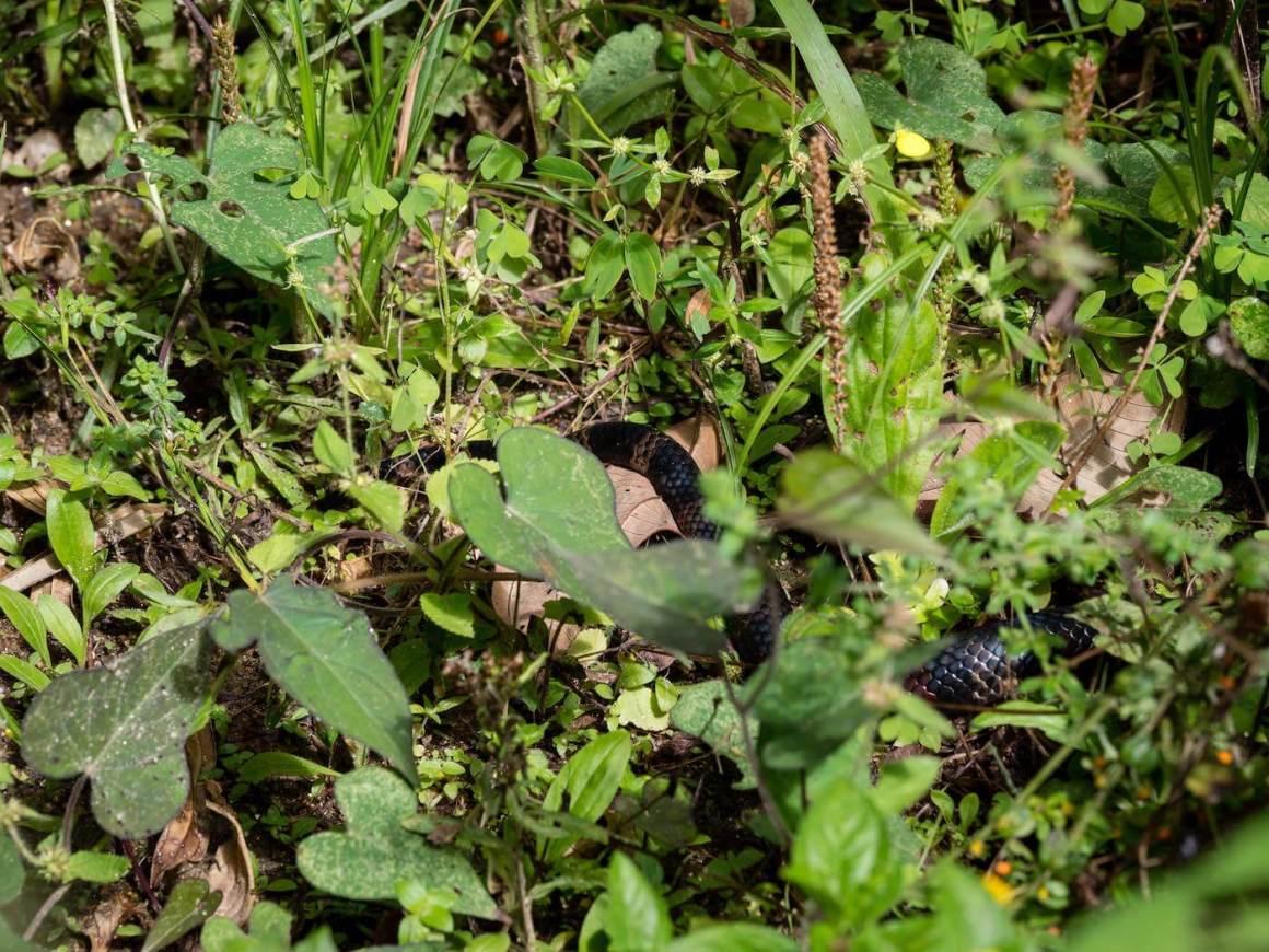Snake's abdomen hiding in the grass