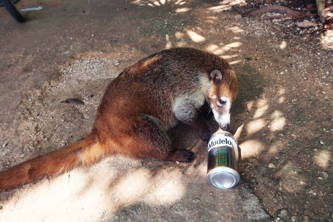 Coati playing with beer can outside the Tulum ruins.
