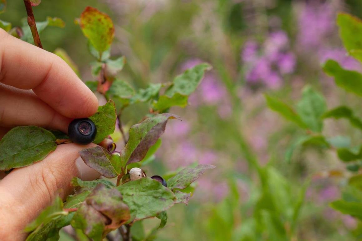 Hand picking a blueberry with flowers in background