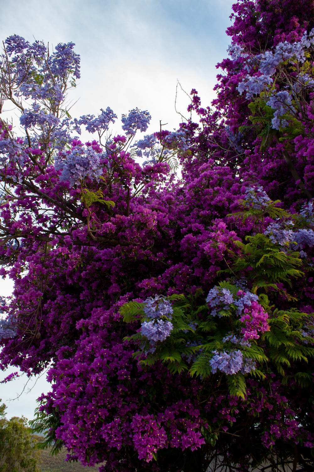 Explosion of flowers on a tree in Barrydale