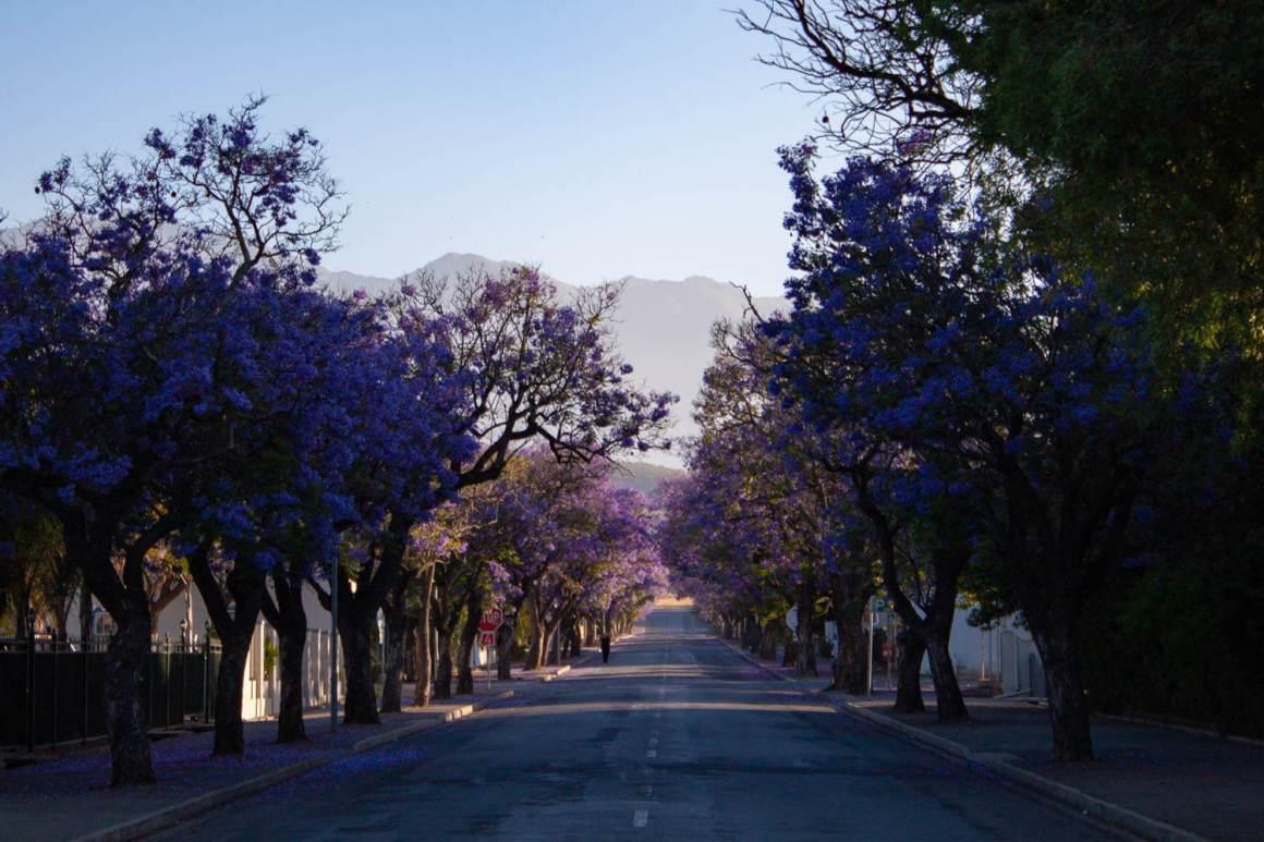 Empty street lined with flowering jacaranda trees