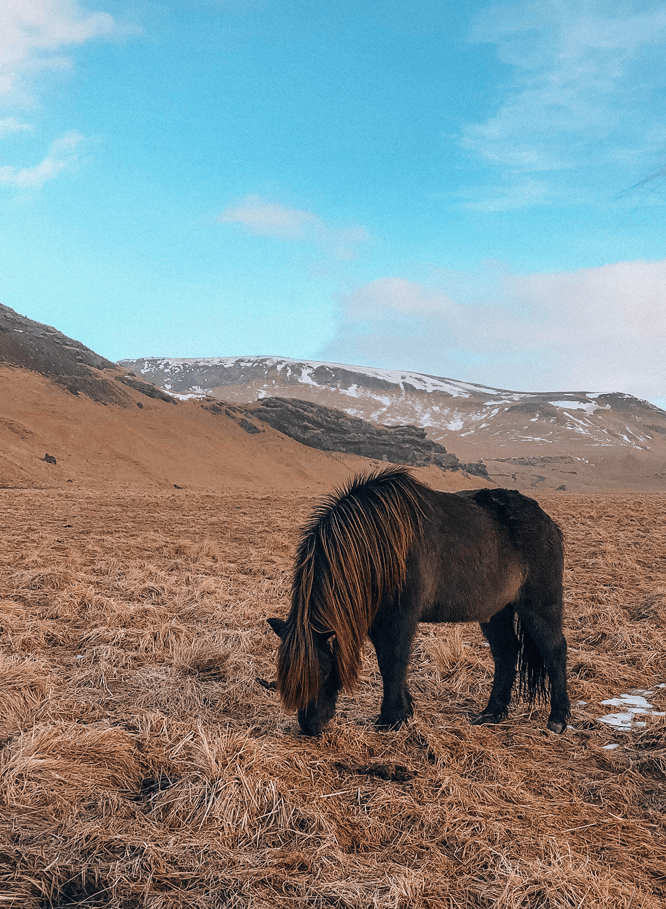 Visiting Iceland in the winter brown Icelandic horse