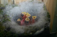 baby birds-1540325