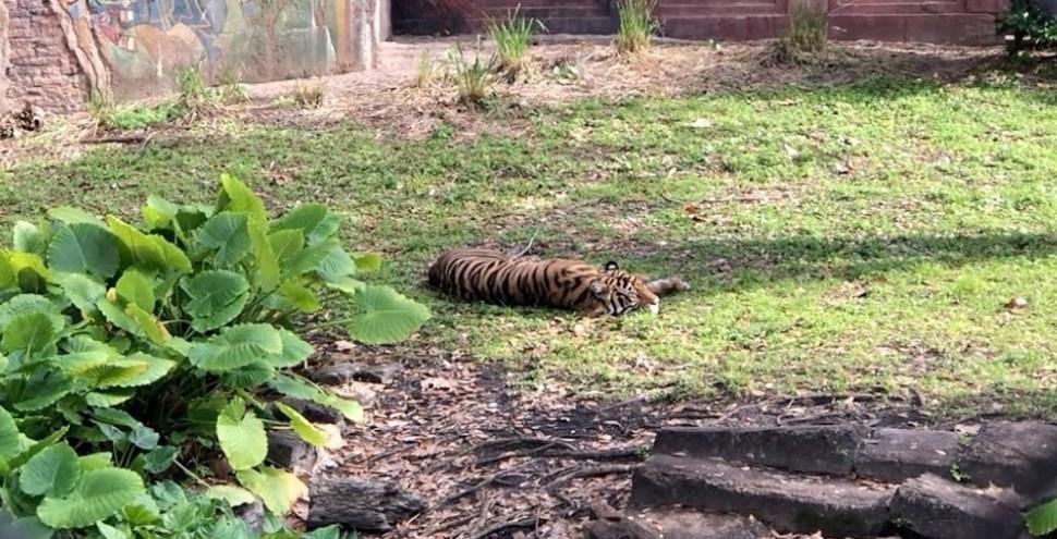 Maharajah Jungle Trek tiger