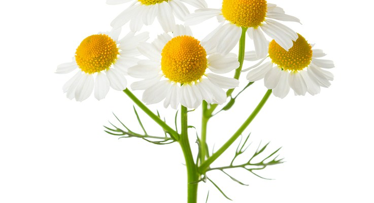 wisdom in brief: chamomile