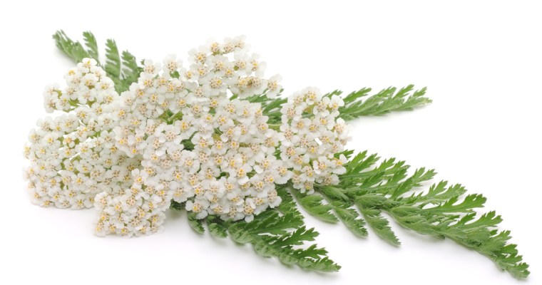 wisdom in brief: yarrow