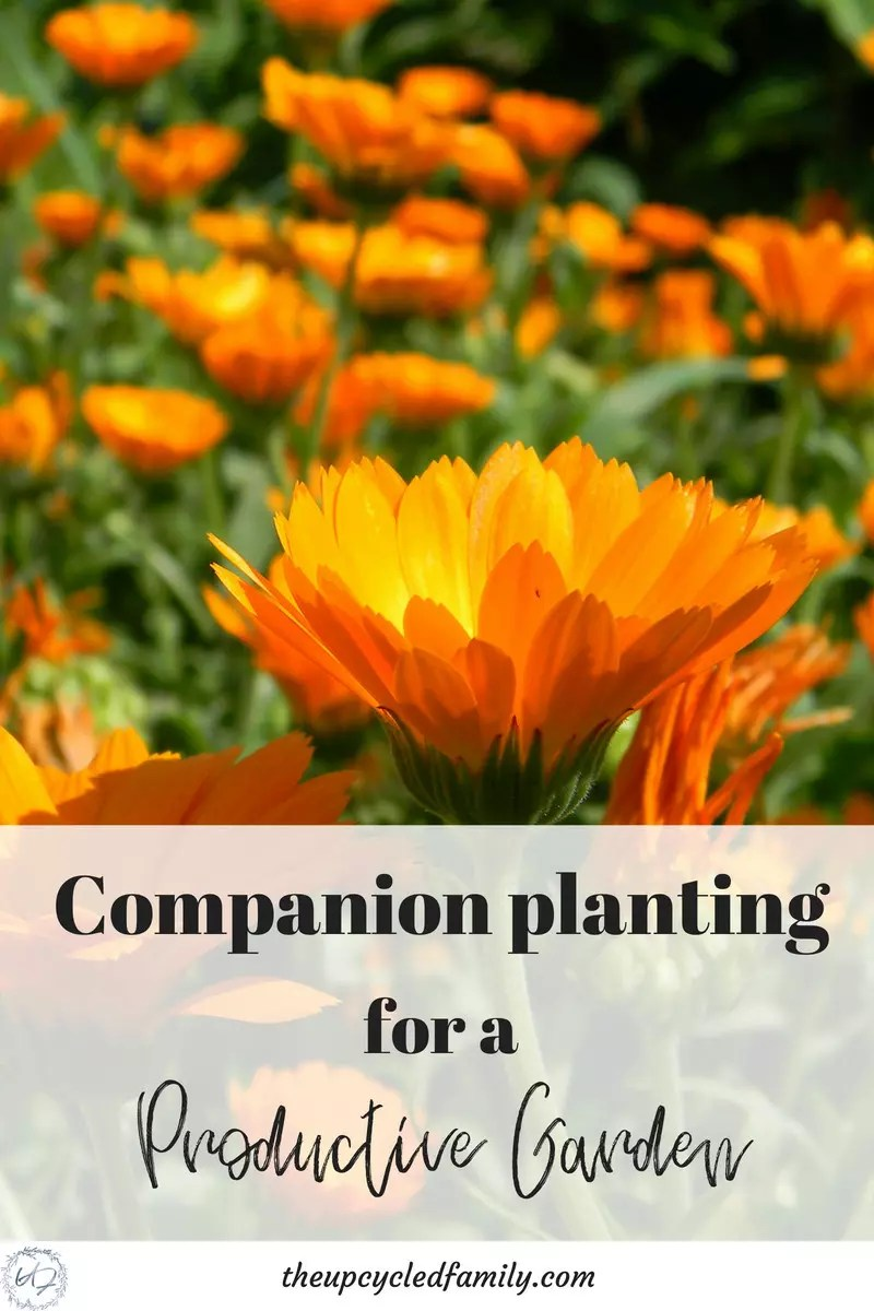 herbs for companion planting