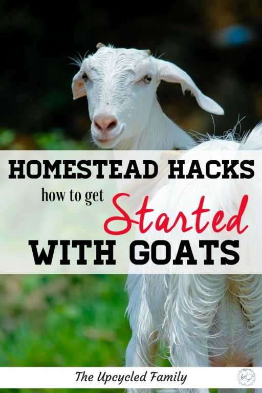 getting started with homestead goats