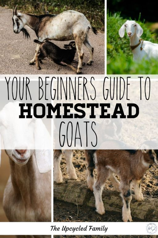 Everything you need to know before raising homestead goats