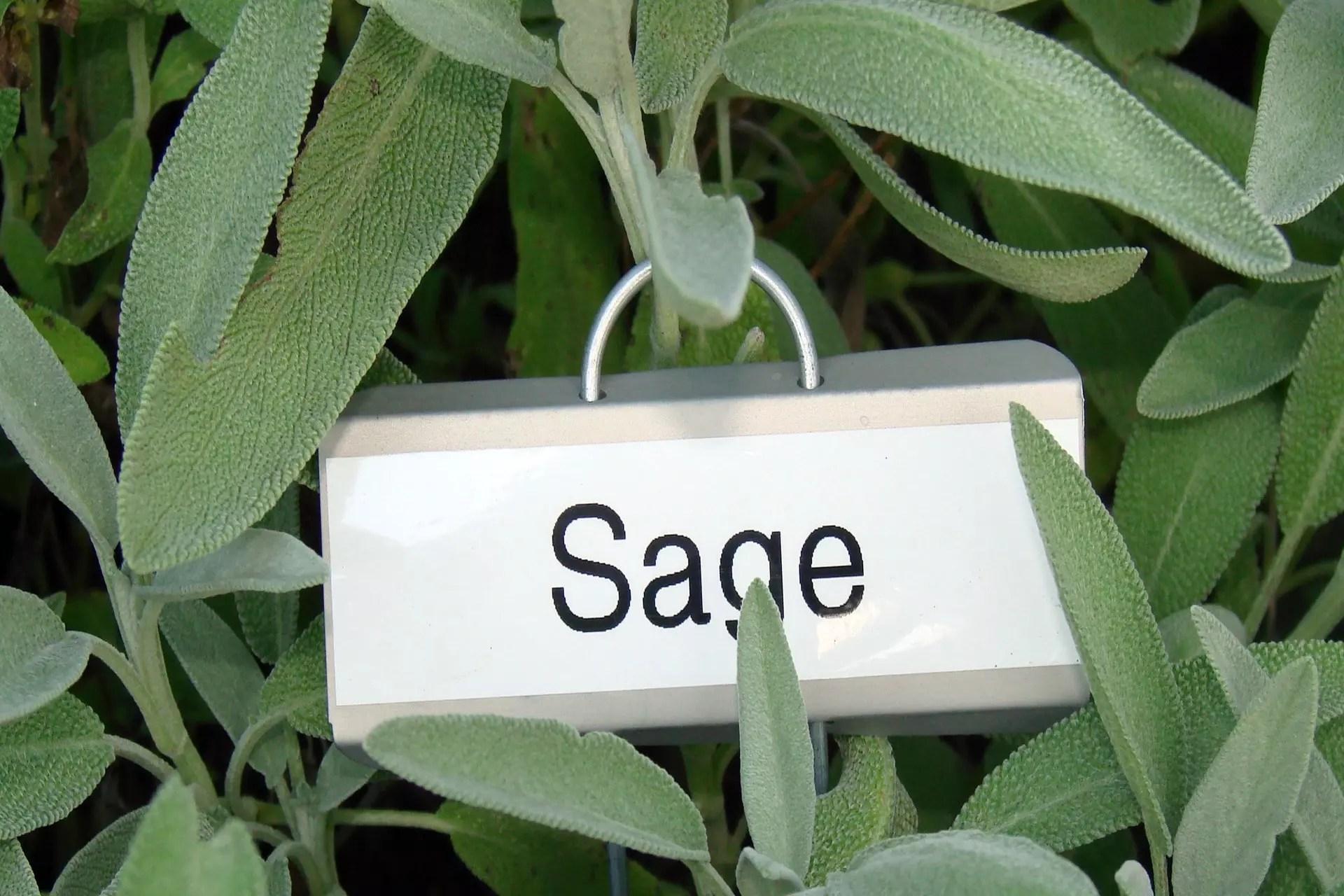 sage in the garden