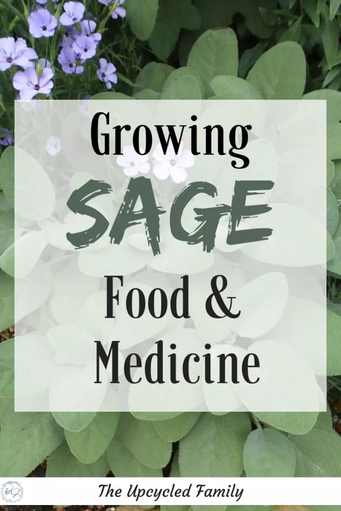 growing sage in your herb garden. The benefits of sage surpass that of simply culinary uses. Sage benefits and uses for both food an medicine. #medicinalherbs #sage #sageuses #sageplant #growingsage #herb #sagebenefits #gardenherbs