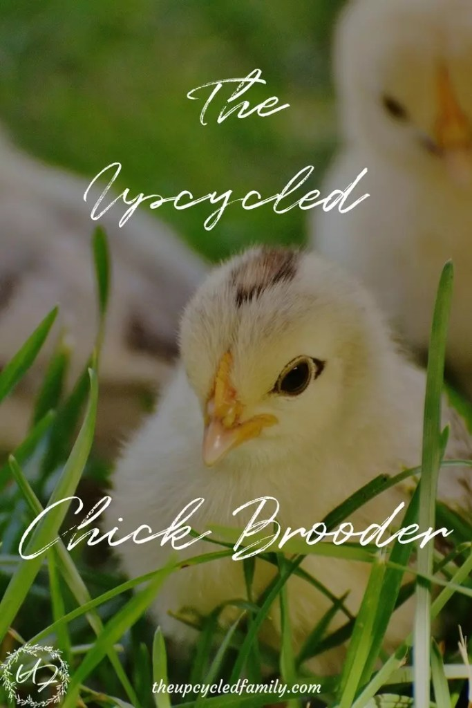 Baby chicks for the DIY Chick brooder