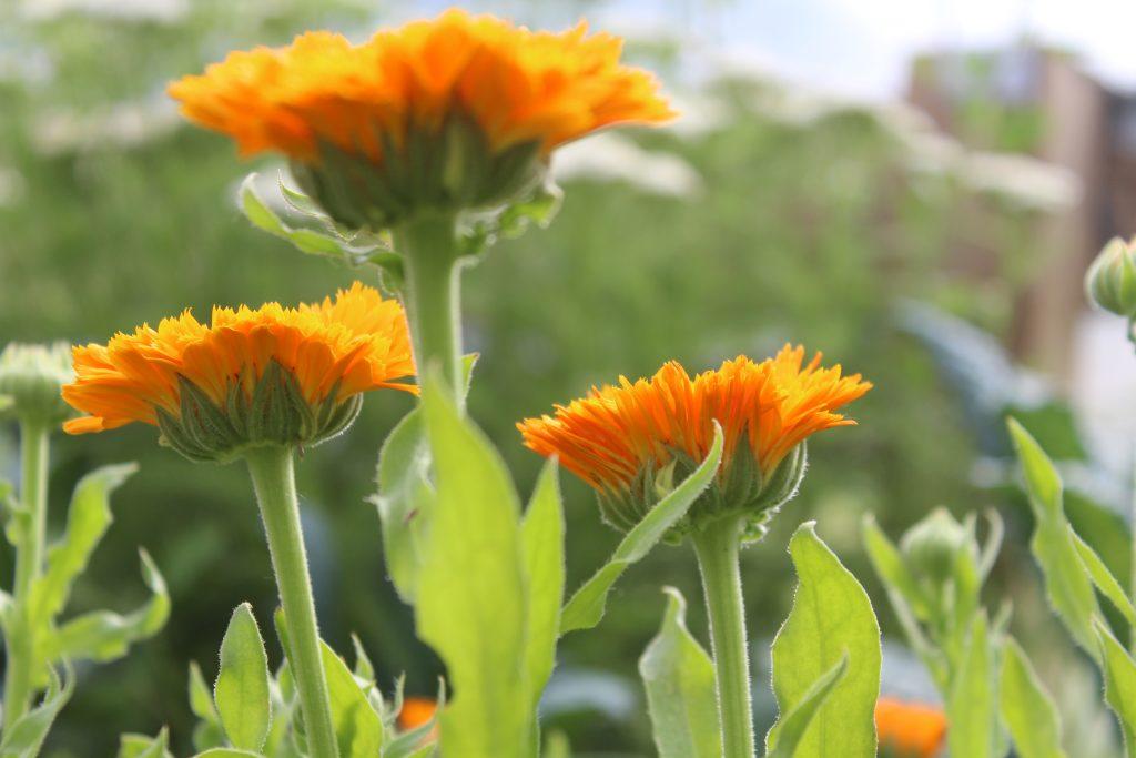 calendula benefits