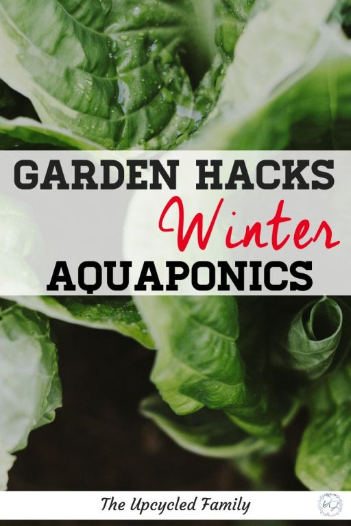 Have you ever heard of aquaponic gardening? Have you ever wondered if plants will grow through the winter and if so how well? Showing you a very basic DIY winter aquaponics setup. #aquaponics #DIY #greenhouse #winter #small #plants #goldfish #ideas #gardening #videos