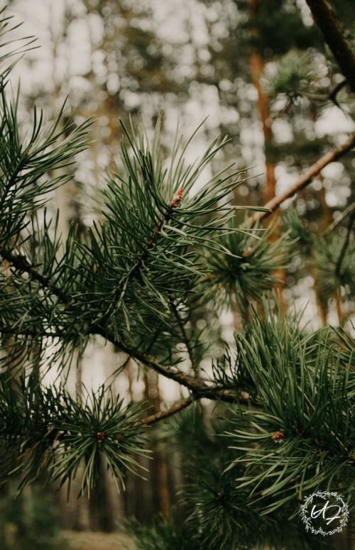 benefits of pine needles
