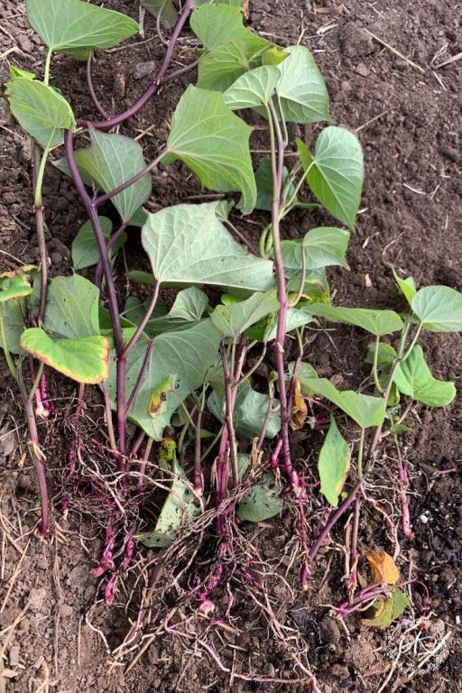 growing your own sweet potato slips in soil