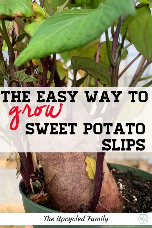 the easy way to grow sweet potato slips
