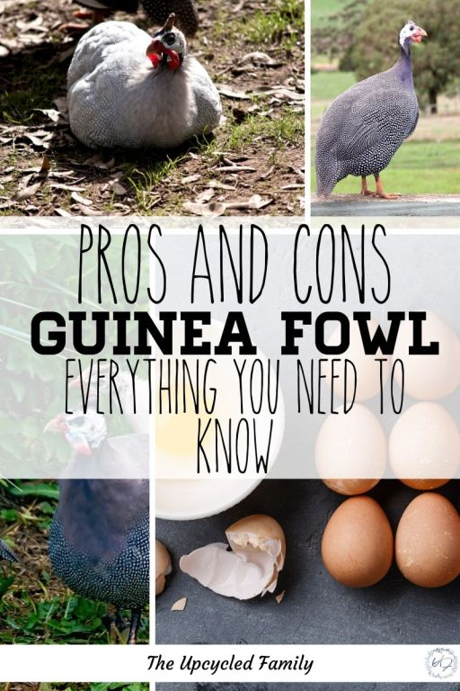 Pros and cons of keeping guinea fowl