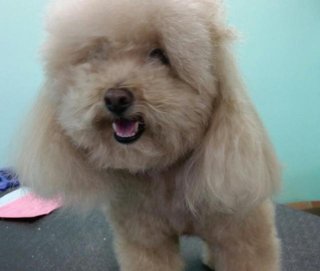 Chloe Toy Poodle Before_