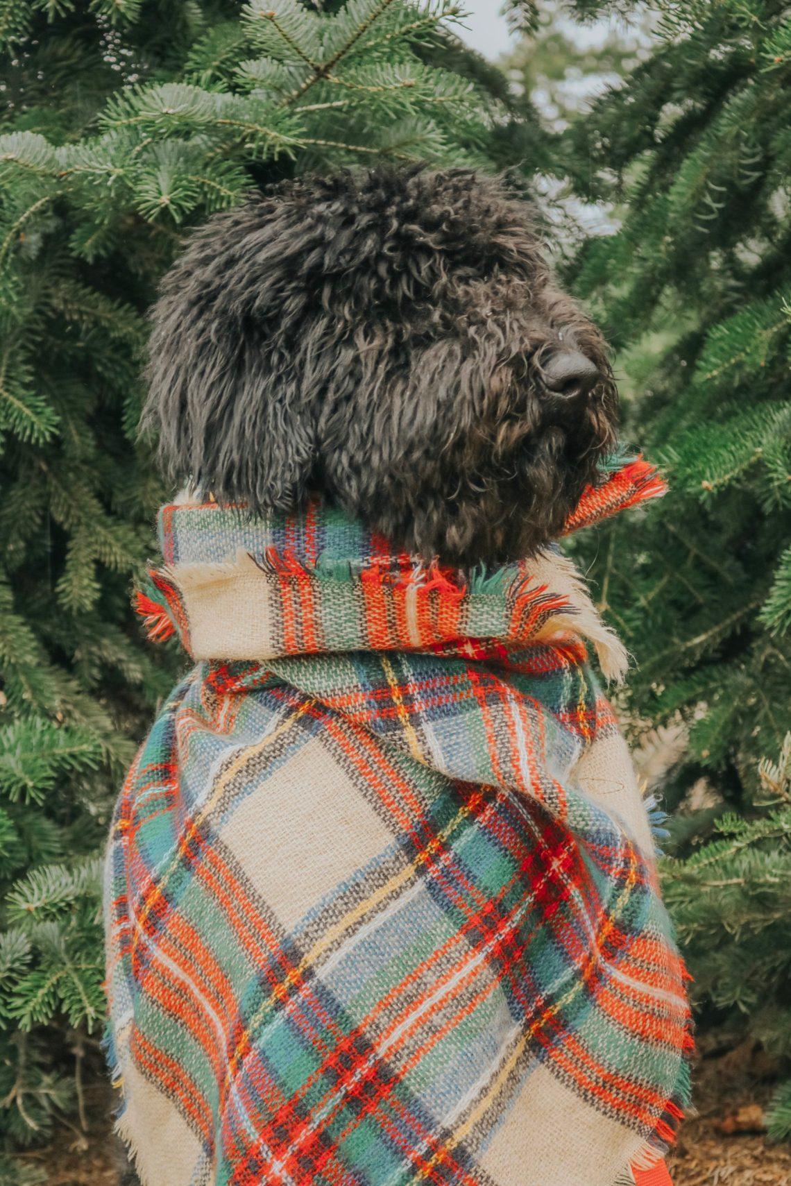 Christmas, Christmas Tree Farm, Christmas tree, labradoodle, puppy, labradoodle puppy, puppy's first christmas, dog photography, Christmas photos, fashion, fashion blogger, lifestyle blogger, The Urban Darling.