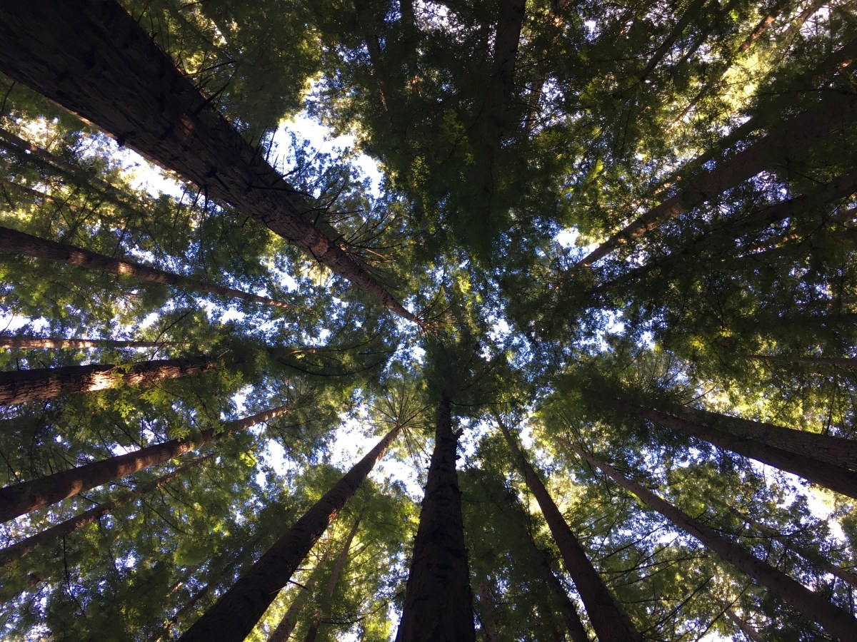 Redwood Forest photography Victoria tall trees road trip