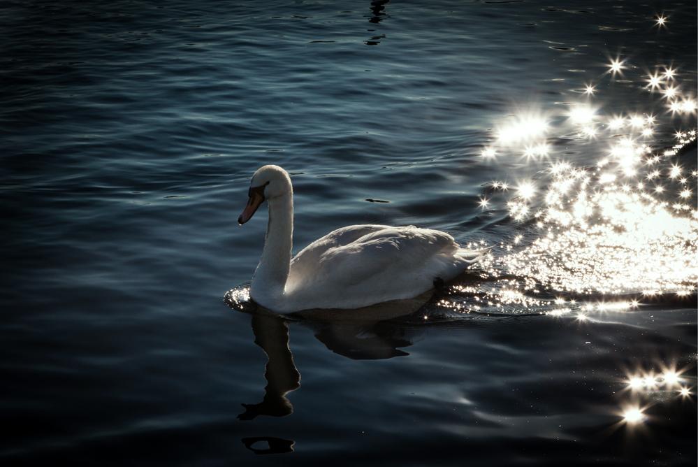 swan in a trail of sunbeams