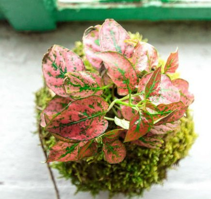 Kokedama pink plant Japanese floral art