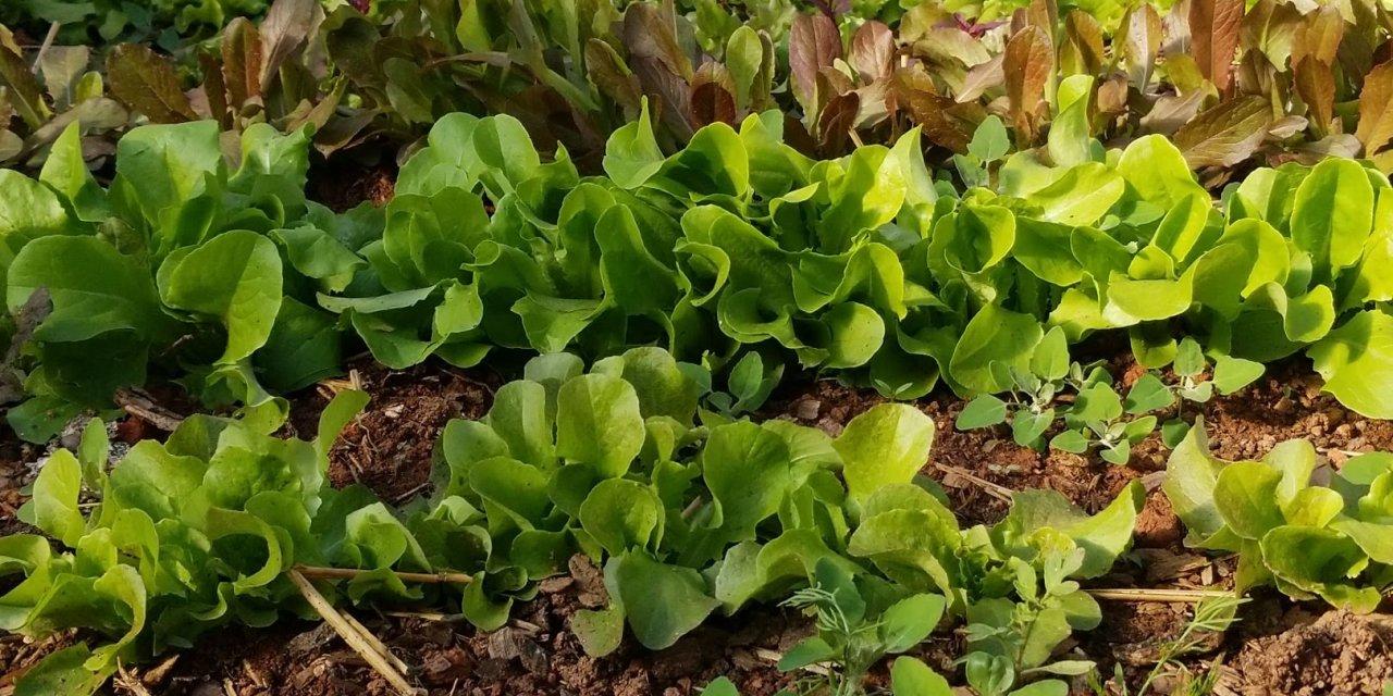 WNC Lettuce Landrace Breeding Project