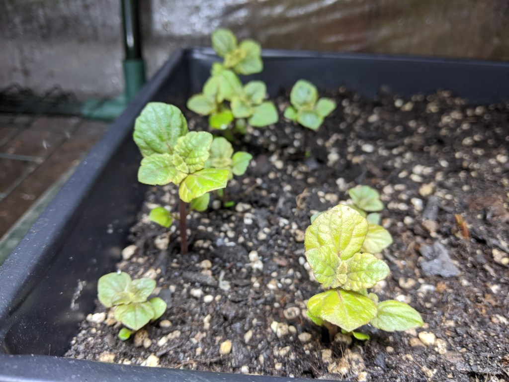 Sprouted African Potato Mint