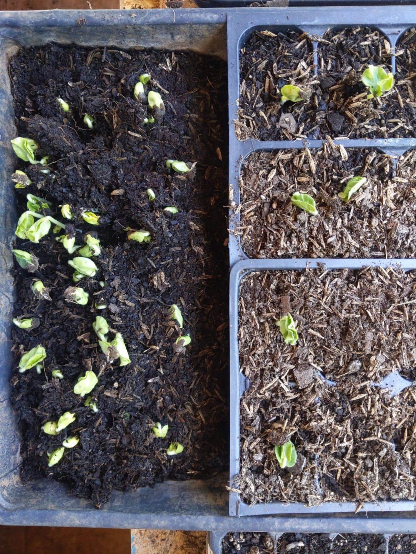 Okra seed germination testing.
