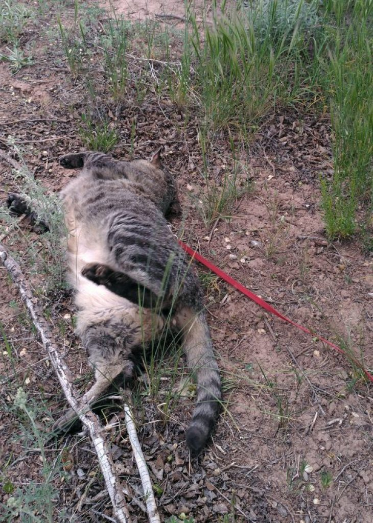 Major Tom, rolling in a patch of dirt and grass. He's a little blurry with the motion. There's a LOT of pale belly fur showing.