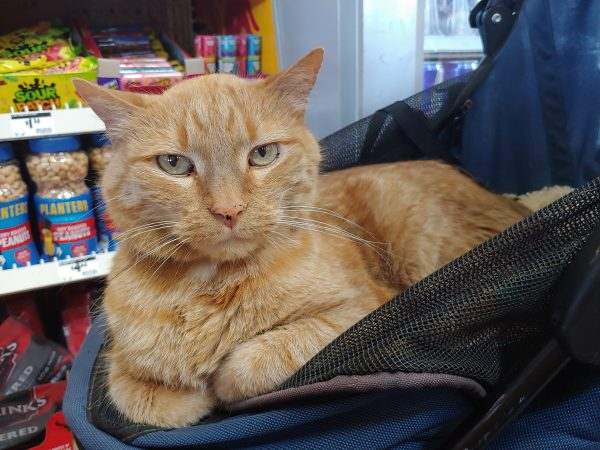 Loiosh, curled up in his stroller with his paws neatly tucked under him, gazes out at the camera with skeptical ears.