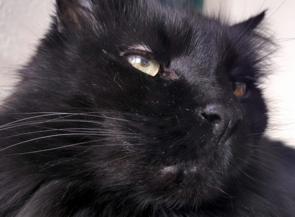 A closeup on Hades' face. He's a fluffy black cat with yellow-green eyes. The pupil of his right eye is oddly shaped.