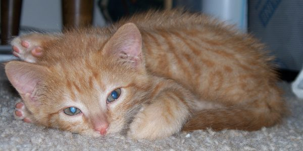 Loiosh, a tiny fluff of a kitten, lays curled up on the carpet. He's looking at the camera but he is clearly not very awake. Also his right hindleg is inexplicably stretched out so it's laying across his head.