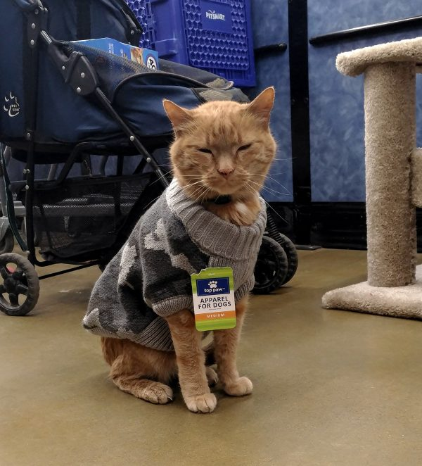 Loiosh, an orange tabbycat, is sitting on the floor of PetSmart. He's wearing a grey camouflage sweater with a tag that says 'apparel for dogs'. He's making happy blinky eyes.