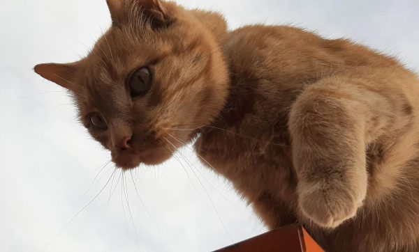 Loiosh, seen from below, the sky behind him, a small corner of orange machine beneath him. One paw is raised, & he's eyeing the jump to the ground.