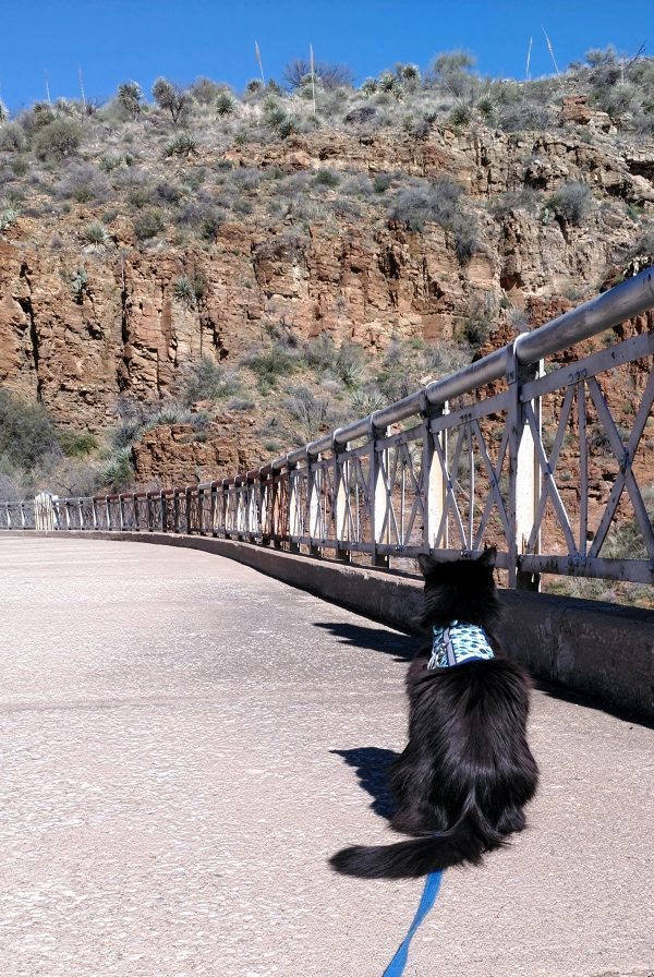 Hades, in his cute blue harness, sits on the old bridge, facing away from the camera, his fur tossing in the breeze.