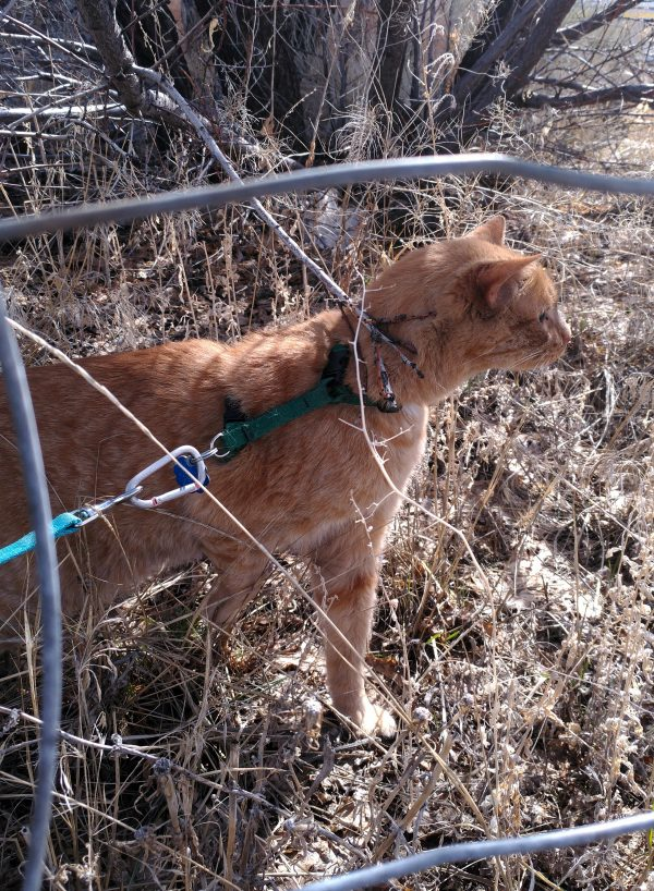 Loiosh is standing on ground covered with low brown plants, pulling at the leash which is stretched behind him. All of this is seen through widely separated metal wire that makes up the fence.