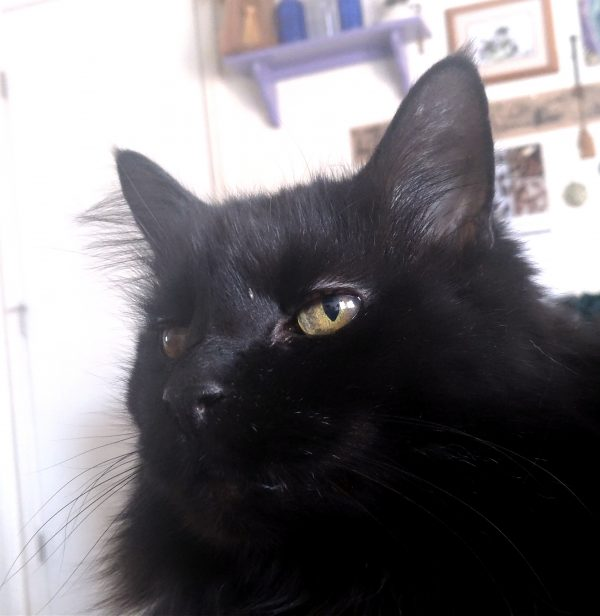 Hades, a longhaired black cat, sits on the bed, gazing majestically off into the distance.