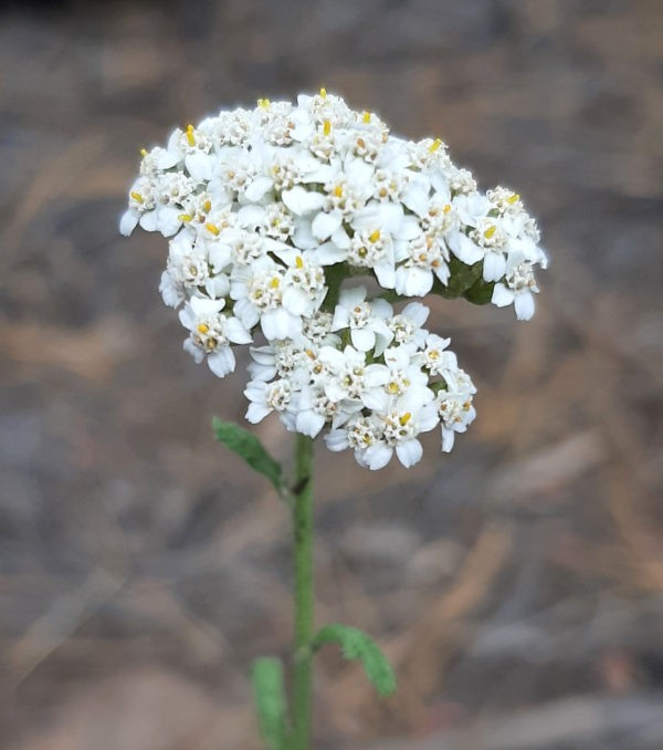 A close view of a yarrow flower -- a bunch of tiny white five-petalled flowers clustered together.
