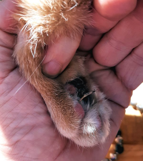 I'm holding Loiosh's forepaw in my hand, turning it so I could get a picture of the bottom -- he's got a BUNCH of pine resin stuck between his toes, along with several pine needles.