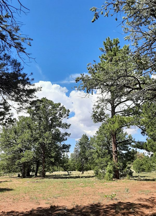 A mountain meadow dotted with tall ponderosa pine trees. Above them is a RIDICULOUSLY blue sky, with puffy white clouds.