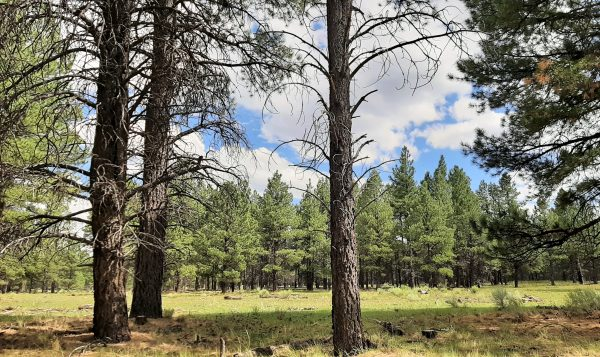 A grassy alpine meadow, seen through a few tall ponderosa pines, with another grove of ponderosas in the distance; above, blue sky with puffy clouds.