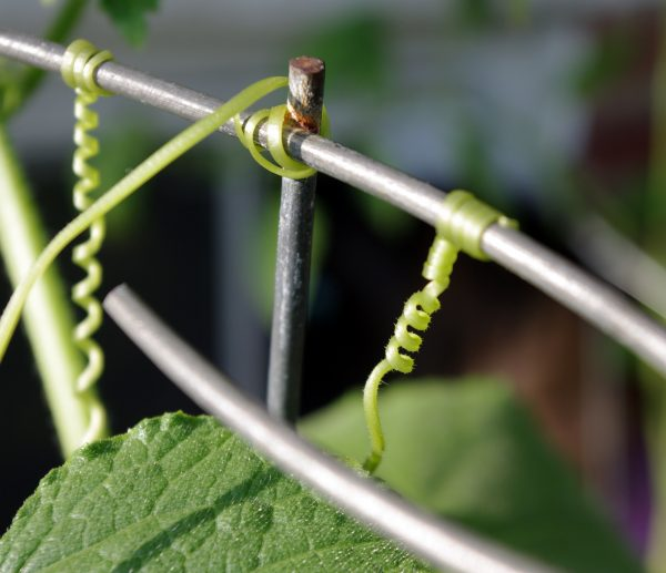 A close view of cucumber tendrils winding their way to a supportive metal framework, & then twining around it.