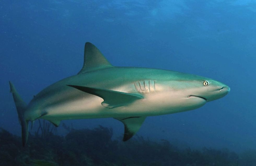 """Carcharhinus perezii,"" also known as the ""Caribbean reef shark"" is a species of requiem shark that can be spotted in the mesmerizing waters of the western Atlantic Ocean from Brazil to Florida."