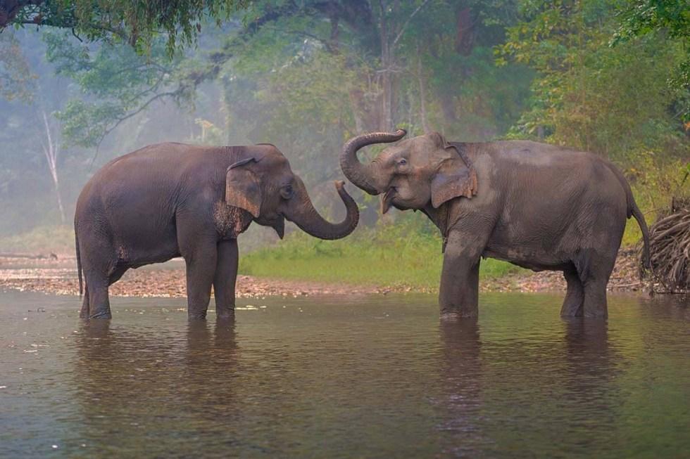 Elephants in Thailand.