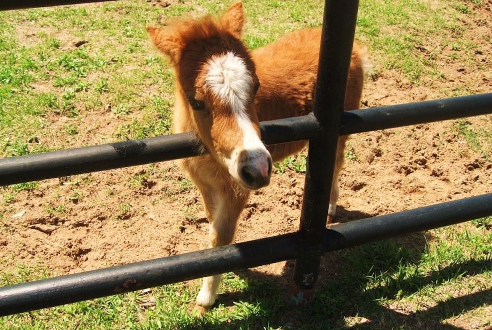 Brenham Miniature Horses in Texas.