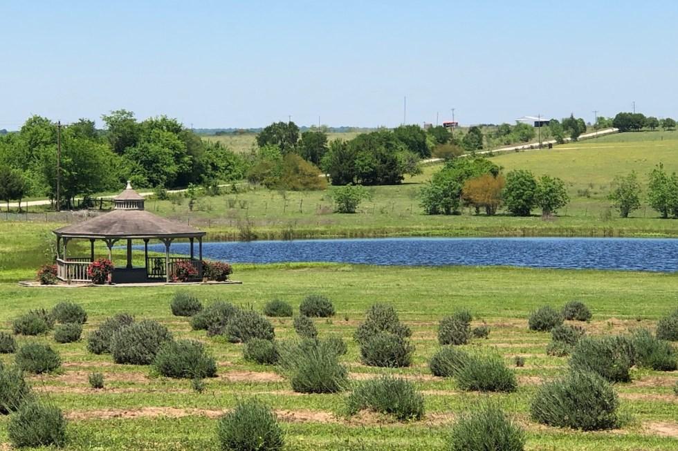 Chappell Hill Lavender Farm in Brenham, Texas.