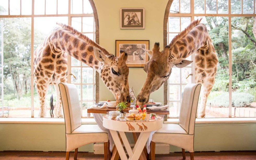 Giraffes poking their long necks into the windows in search of treats at Giraffe Manor in Nairobi, Kenya.